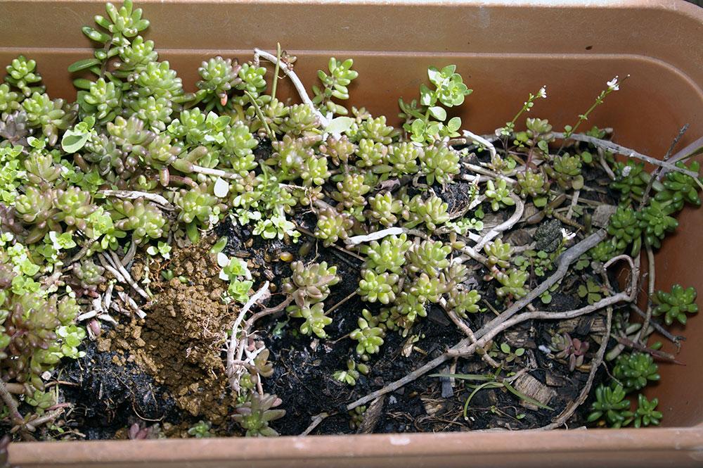 sedum joubarbe et plantes grasses. Black Bedroom Furniture Sets. Home Design Ideas